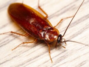 Fort Lauderdale American Cockroaches Pest Control
